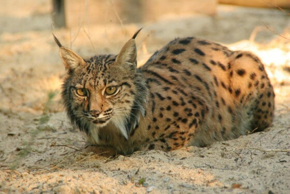 Especies ibéricas en peligro de extinción (I): Lince ibérico