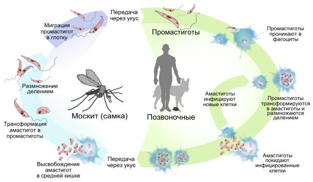 простейшие паразиты человека лечение