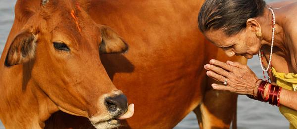 Animales en la antigüedad y otras culturas (II): La vaca de la India