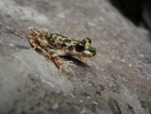 Especies ibéricas en peligro de extinción (VI): Ferreret