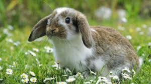 Animales exóticos (IV): Conejo