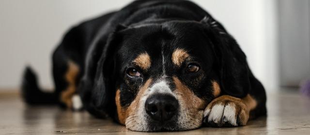 emergencias veterinarias comunes