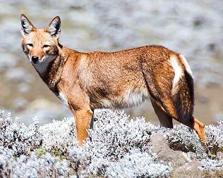 Canis Simensis,un lobo único