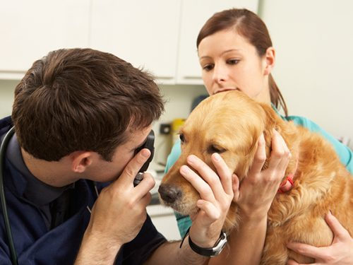 cão a ser examinado no veterinário