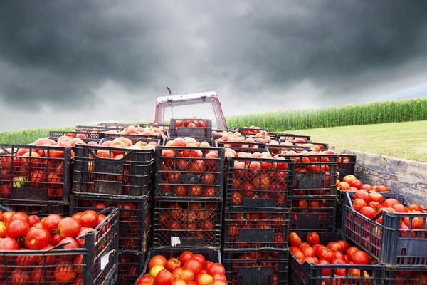 Trator carregado com caixas de tomates