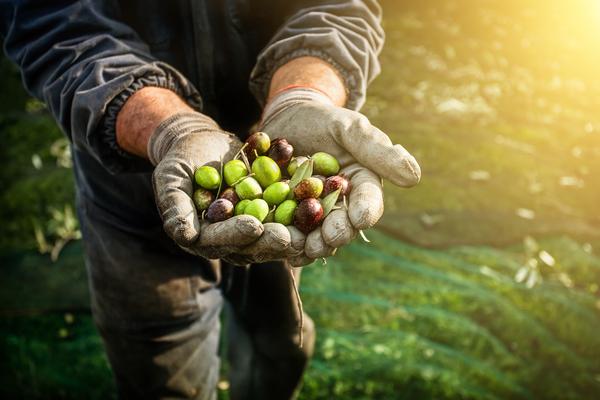 Apanha da azeitona. A produção de azeite aumentou cerca de 80% em Portugal
